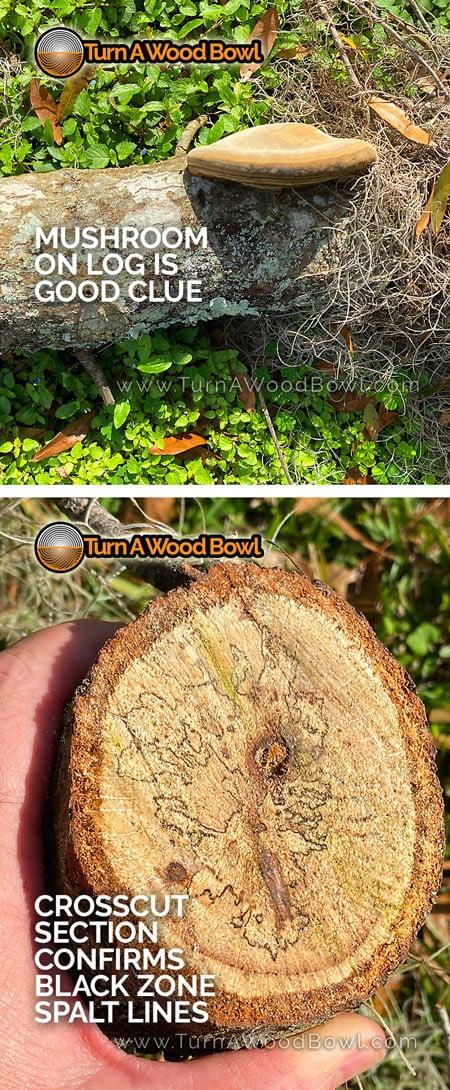 Finding Spalt Mushroom Fungus indicator
